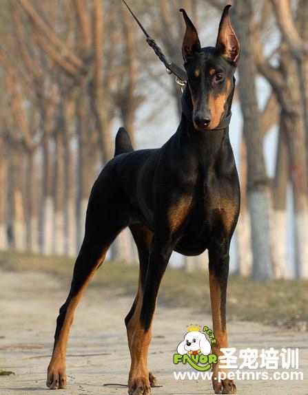 宾莎犬和杜宾_杜宾犬介绍_杜宾与马犬