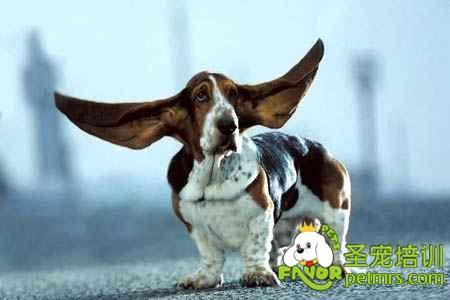 狗狗的耳朵都有哪些形状的