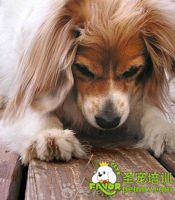 狗身上有跳蚤怎么办 宠物美容 圣宠宠物美容学校 国内最专业的宠物美