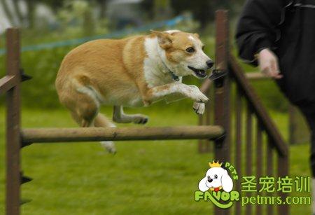 (3)模仿训练法:就是将经过训练的狗与被训狗