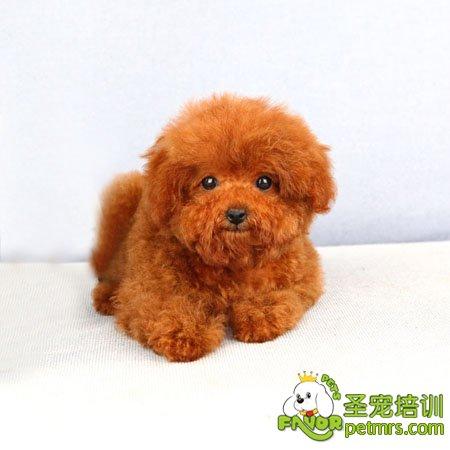 可爱的小贵宾犬