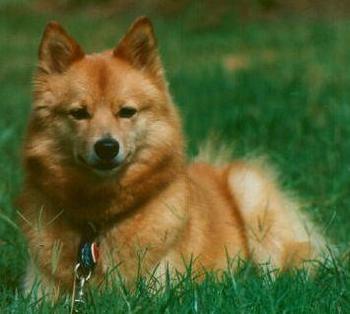 主页 知识拓展 狗狗百科 返回列表  别名:芬兰狐犬,芬兰狐狸犬 英文名
