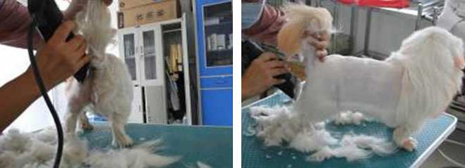 为北京犬修剪狮子装造型