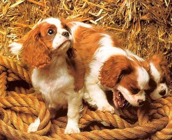骑士查理王猎犬价格_查理王骑士小猎犬_骑士查理王猎犬