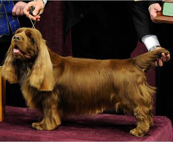 色狗美利坚_这个品种表情忧郁而严肃.鲜艳的金红褐色是该品种独特的毛色.