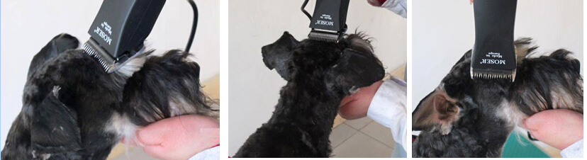 雪纳瑞犬的修剪造型