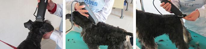 雪纳瑞犬的修剪造型(图文)