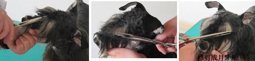 """眉毛修剪 掀起眉毛减掉睫毛(根据宠物主人要求),将眉打薄;把剪刀卡在两眼角处减掉挡住眼睛的杂毛,将眉毛与胡子分开;从前方将眉毛修剪呈月牙形(见图3-7-15)。具体修剪方法如图3-7-16所示,修剪眼睛之间的毛发以形成分隔,要剪得干净、紧密,界限突出(A)。将眉毛向前梳,以鼻子为中心形成一条平行线,用剪子向前剪(B)。分别在外眼角处,剪尖对准鼻子中心交叉处剪,两侧修剪处相交,形成一个倒立的""""V""""形,眉毛要与周围的短毛相融合(C、D)(见图3-7-16)。"""