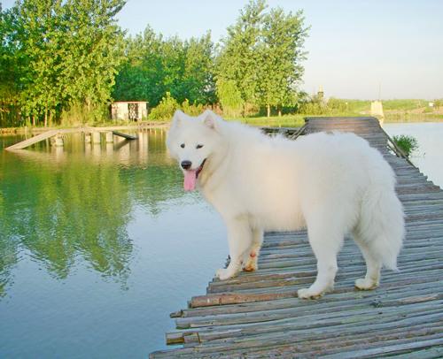 返回列表          萨摩耶犬唯美图片         萨摩耶可爱装束造型