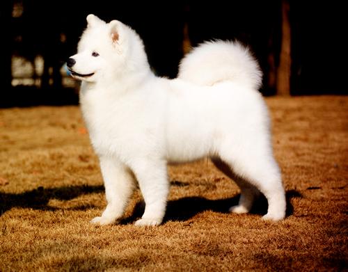 返回列表          萨摩耶犬赛级装         可爱萨摩耶犬照片 &#160