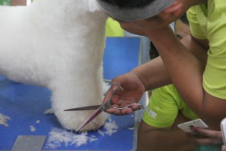 圣宠宠物美容学校24期:比熊犬美容讲解示范