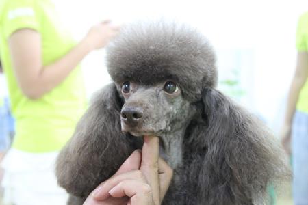 圣宠宠物美容学校25期:贵宾犬运动装束示范讲解
