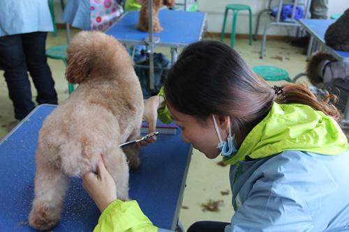 圣宠宠物31期班贵宾犬实操练习