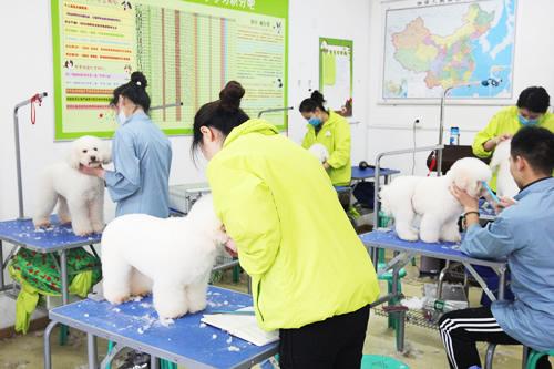 圣宠宠物美容学校分享比熊犬美容