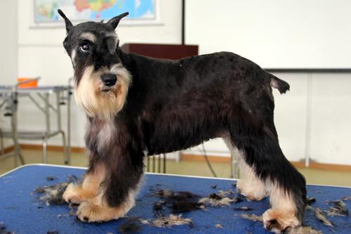 雪纳瑞犬只美容造型全过程