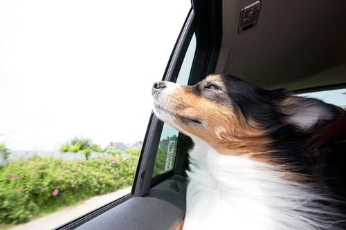 如何训练狗狗不晕车