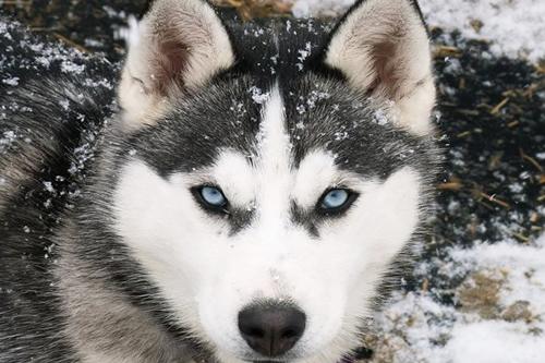 阿拉斯加雪橇犬日常如何饲养