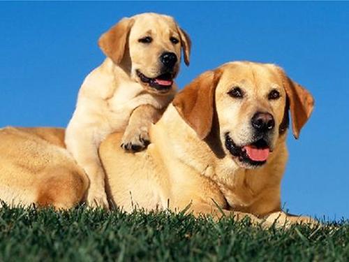 狗狗怀孕后有什么征兆