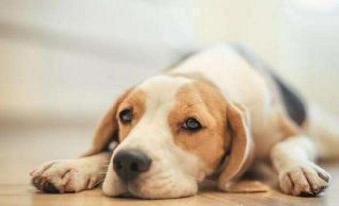 狗狗鼻子变色、可能是得病了