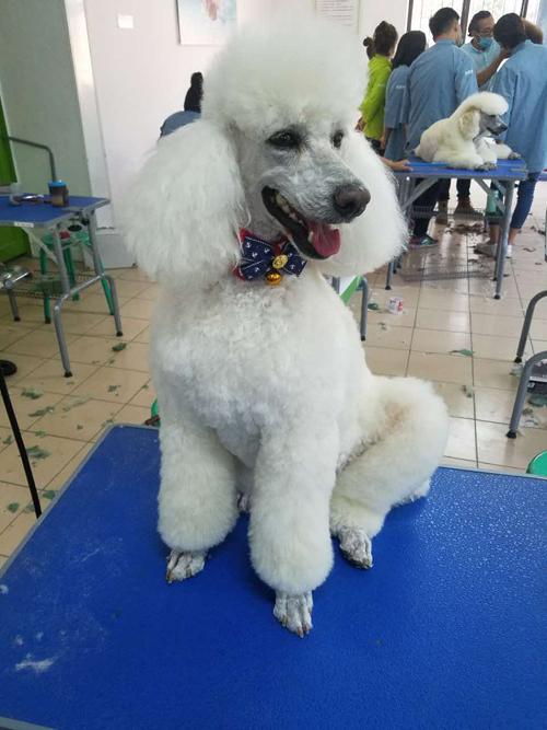 圣宠宠物美容师培训学校巨贵实操