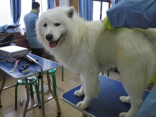 圣宠宠物美容师培训学校雪纳瑞实操