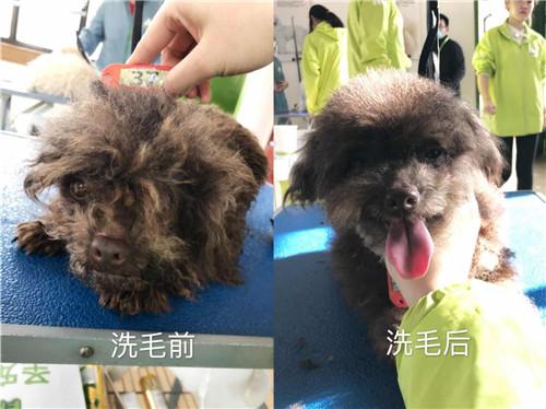 学员们都在认真的为狗狗进行梳毛  学员为狗狗清理耳朵  学员为狗狗清理脚底毛  宠物美容综合班学员为狗狗洗澡  学员们的犬只洗澡护理实操练习